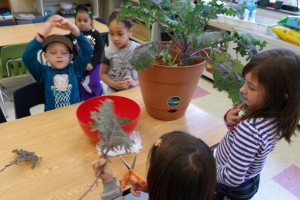 Harvesting the Kale in RCN's School Age Classroom